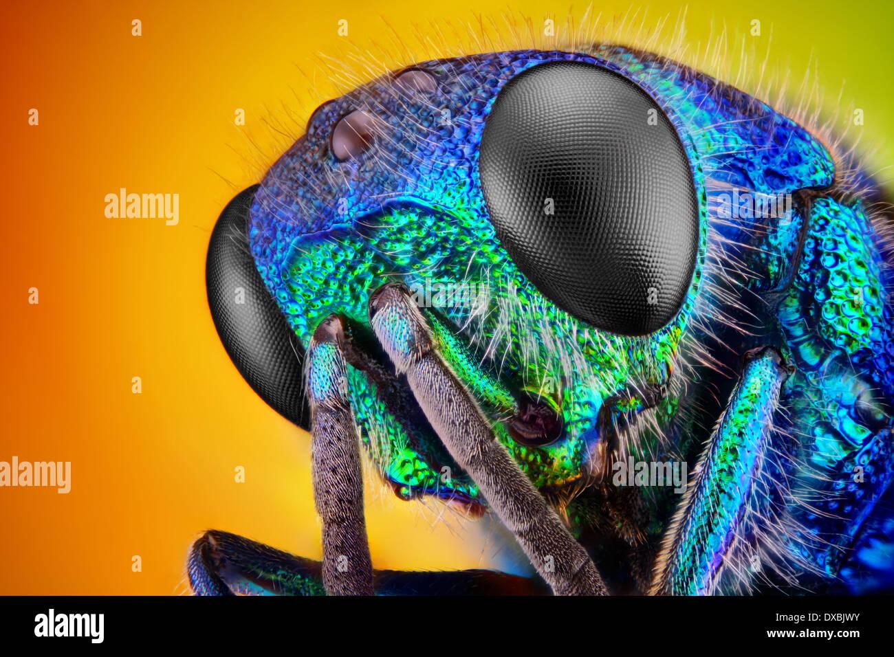 Extremadamente nítido y detallado estudio de una avispa Cuco (Holopyga Generosa) - 6 mm en el tamaño del cuerpo Imagen De Stock