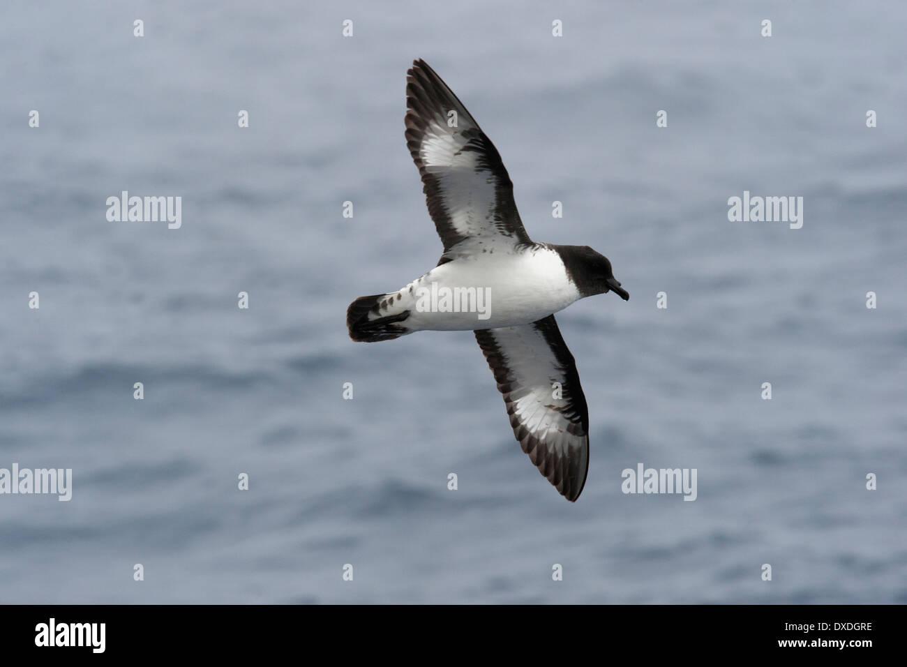 Petrel damero (Daption capense), en mares agitados en el Pasaje Drake, en el Océano Austral. Foto de stock