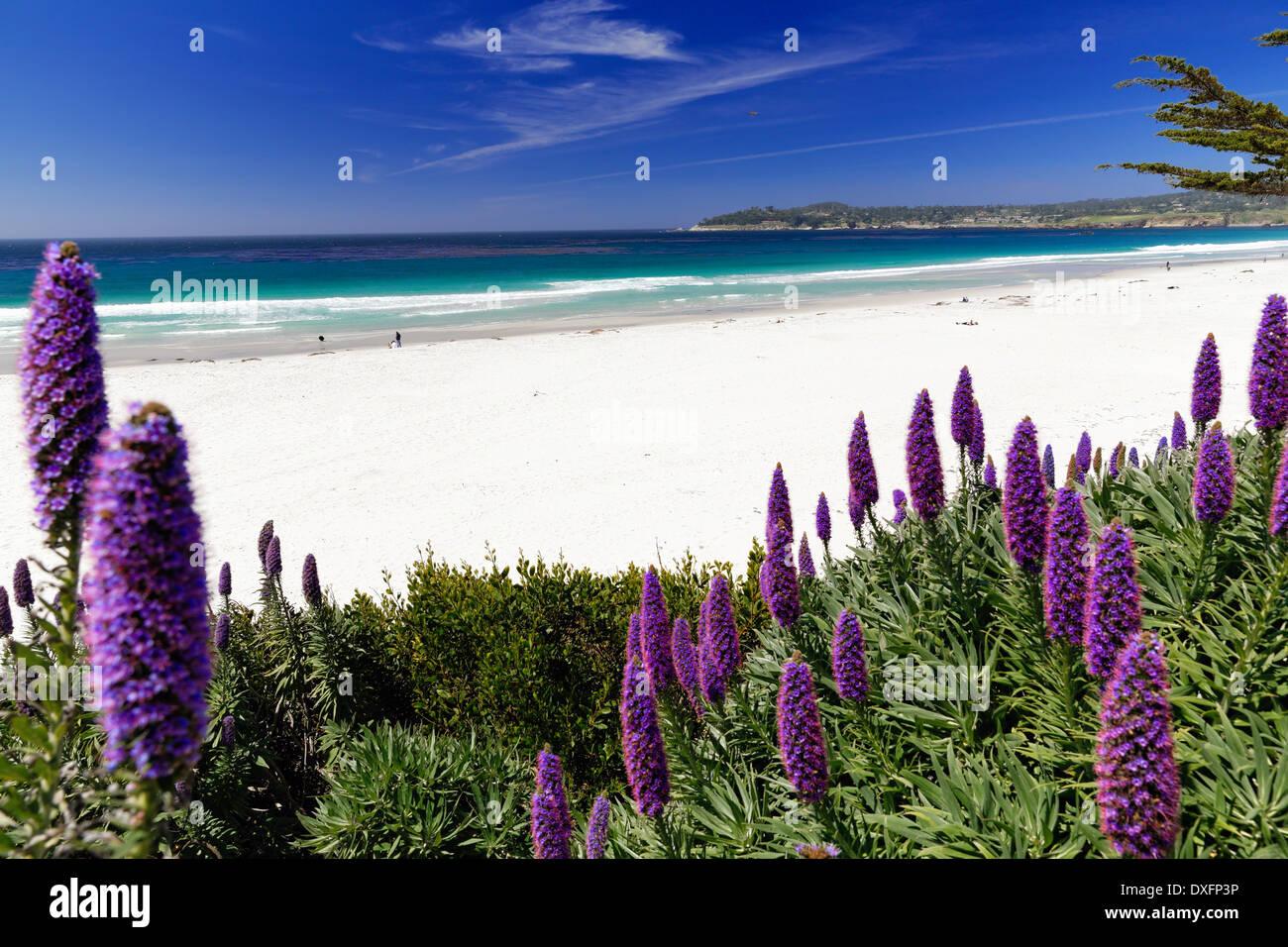 Flores silvestres (Orgullo de Madeira) florece a lo largo de la playa del Pacífico, Carmel por el mar, la Peninsula Foto de stock
