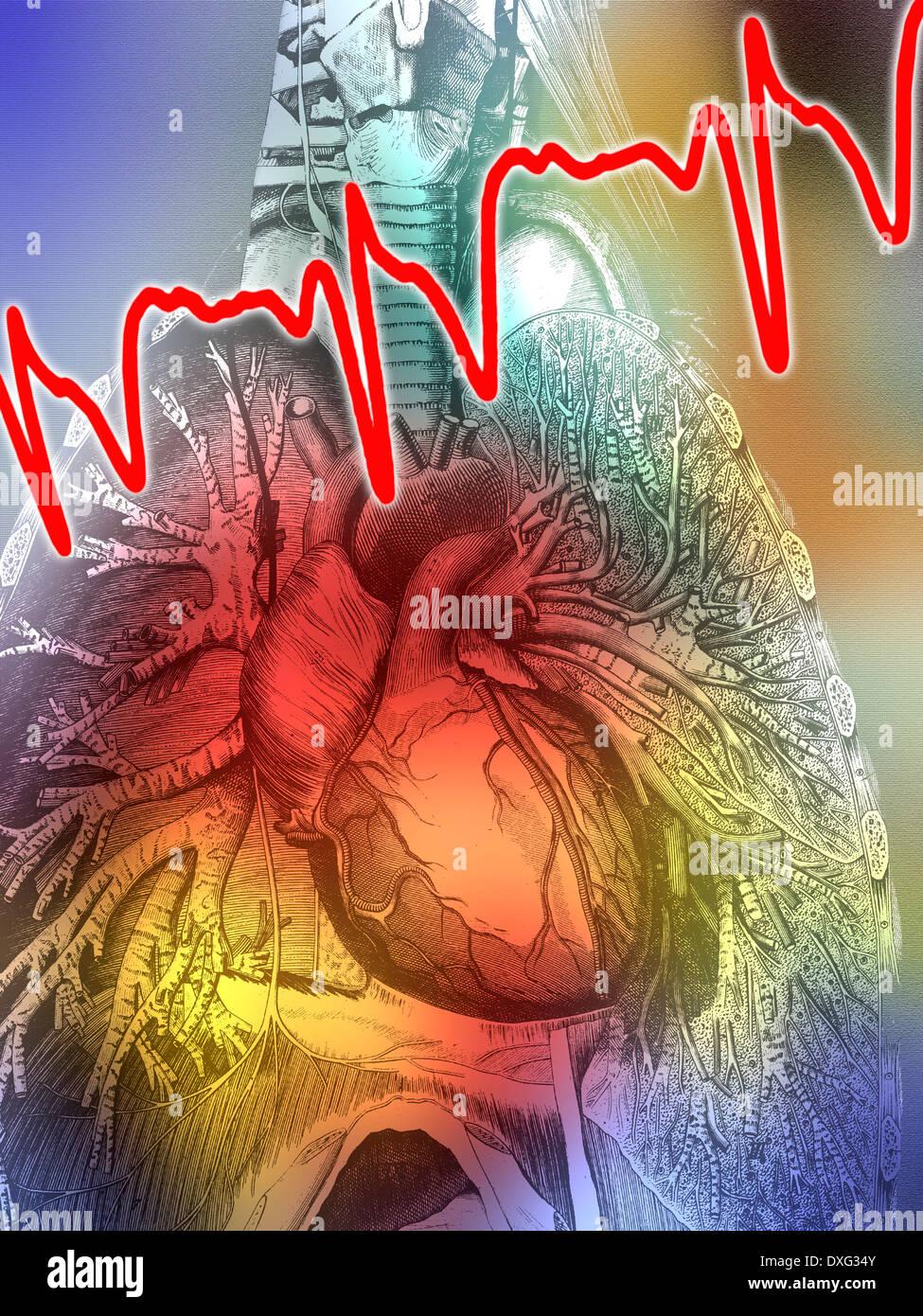 Anatomía Humana - Diagrama del corazón, los pulmones y el torso ...