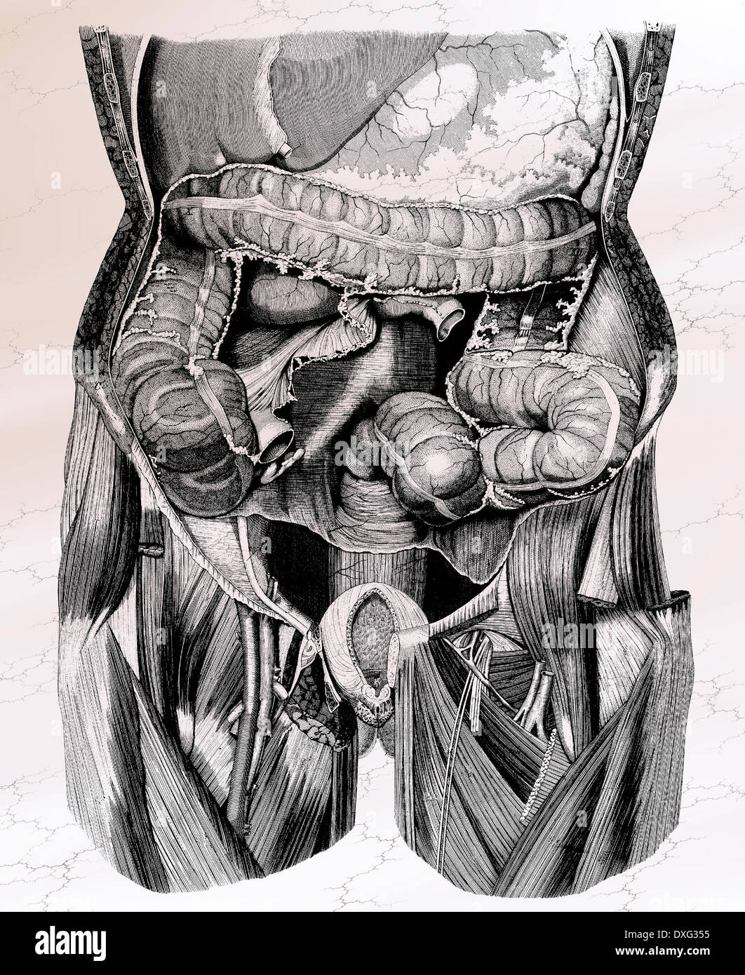 Anatomía Humana - dibujo anatómico victoriana Foto & Imagen De Stock ...