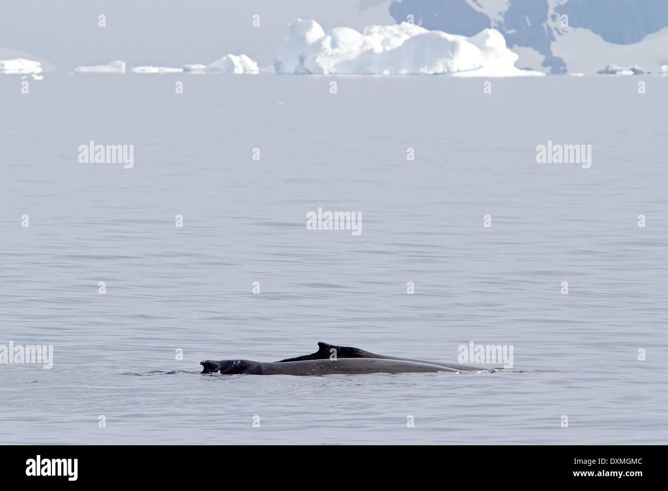 La Antártida BALLENAS JOROBADAS MEGAPTERA NOVAEANGLIAE Antártico. La ballena de aleta dorsal. Foto de stock