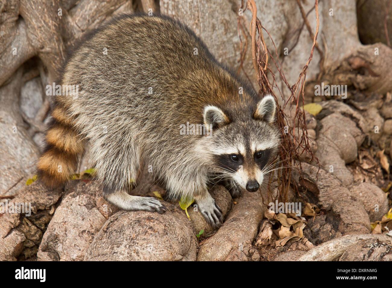 Mapache Procyon lotor o racoon, buscando comida entre las raíces del árbol; Everglades, Florida. Imagen De Stock