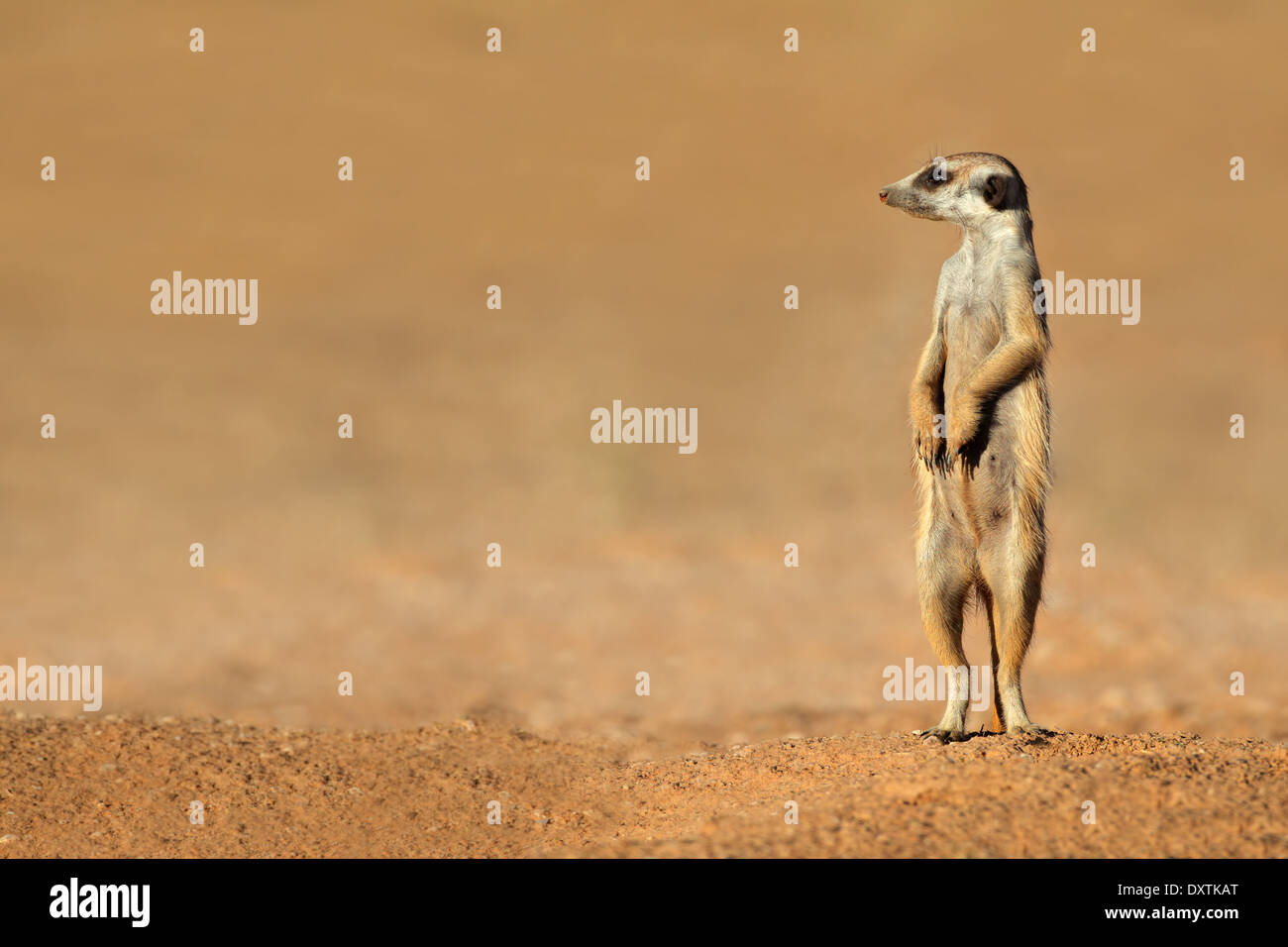 (Suricata suricatta suricata o alerta) en guardia permanente, el desierto de Kalahari, Sudáfrica Imagen De Stock