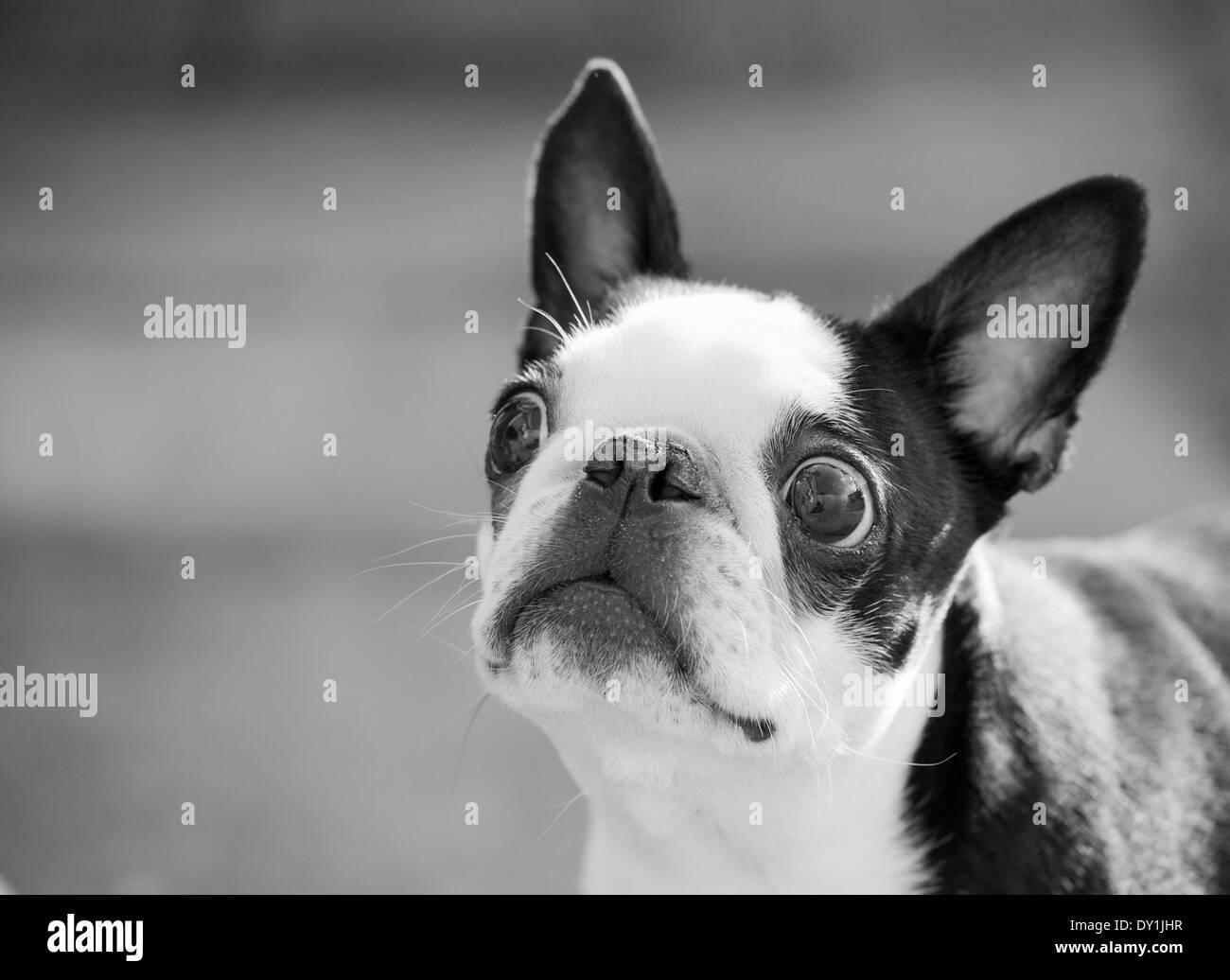 Boston Bulldog retratos Imagen De Stock