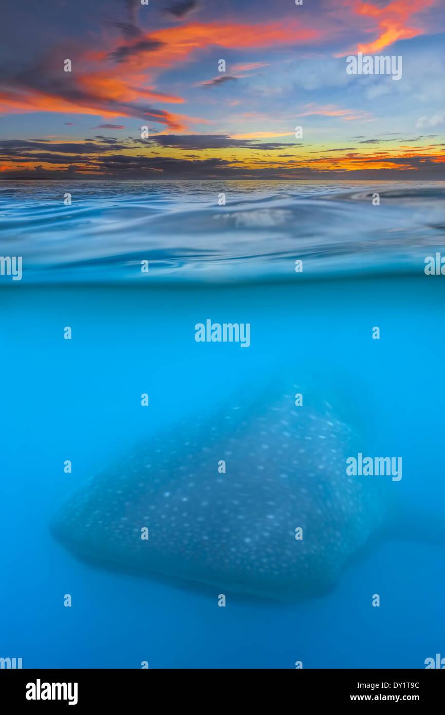 Tiburón ballena debajo Foto de stock