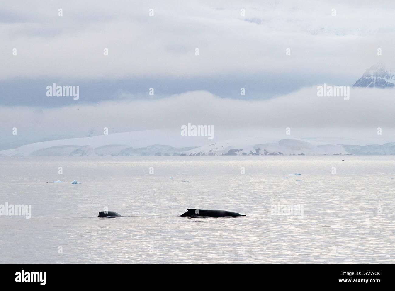 La Antártida BALLENAS JOROBADAS MEGAPTERA NOVAEANGLIAE Antártico. Foto de stock