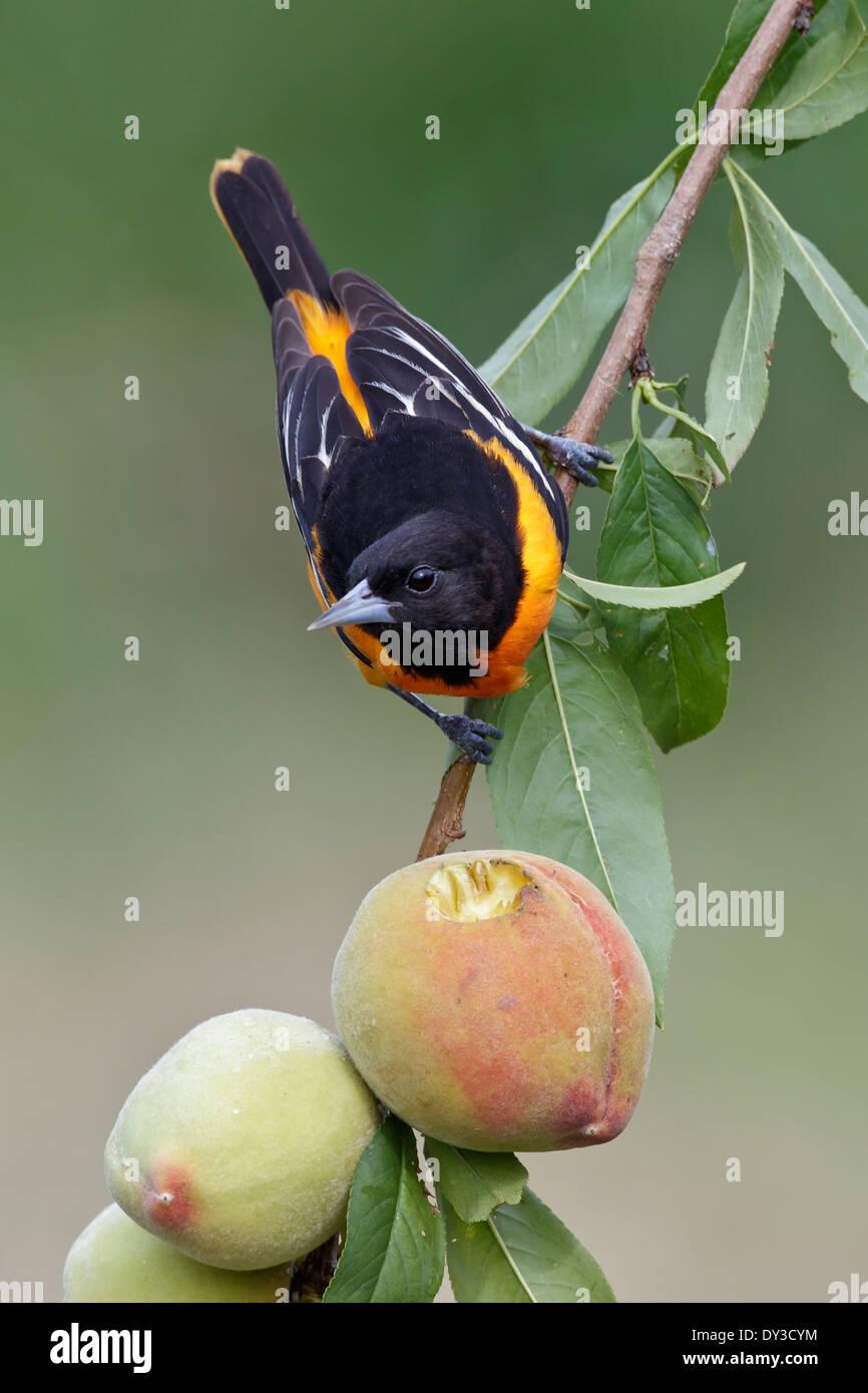 Baltimore oriole - Ictericia galbula - macho adulto Foto de stock