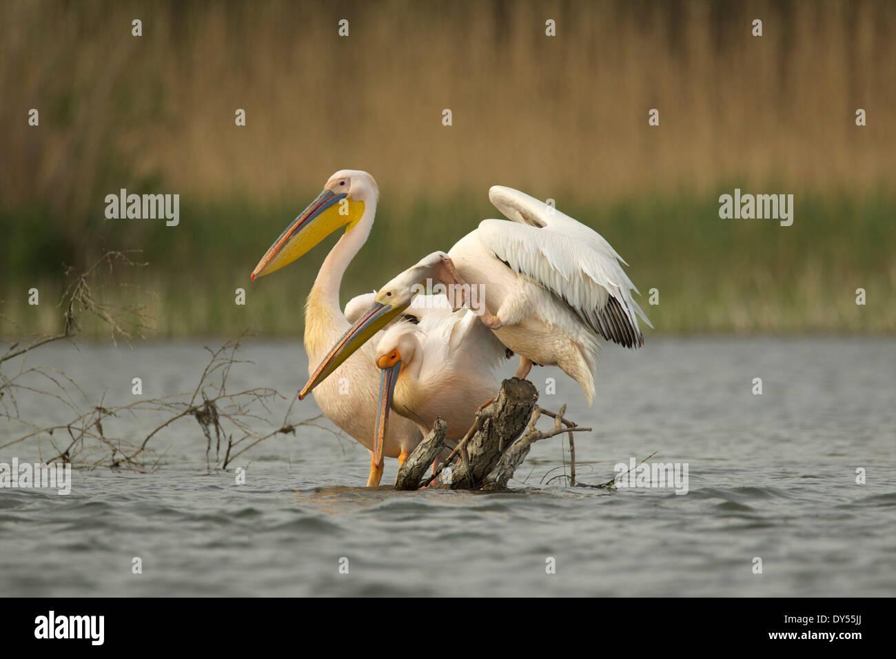Pelícanos blancos, el delta del Danubio, Rumania Imagen De Stock