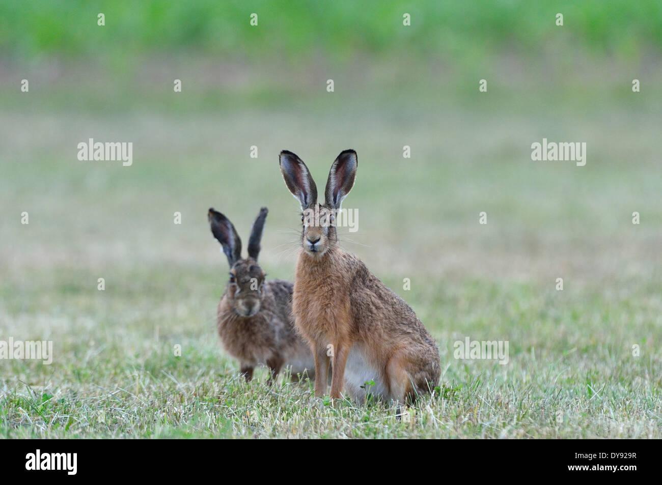 Conejo liebre Lepus europaeus Pallas brown hare bunny liebres conejos roedores pueden juego animal salvaje de la naturaleza animal animales Alemania, Imagen De Stock