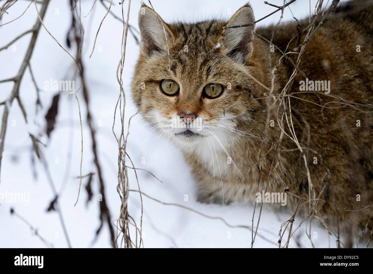 El Wildcat predator juego depredador depredadores pequeños gatos gatos gatos gatos salvajes Felis silvestris wildcats nieve invierno animal animales, Imagen De Stock