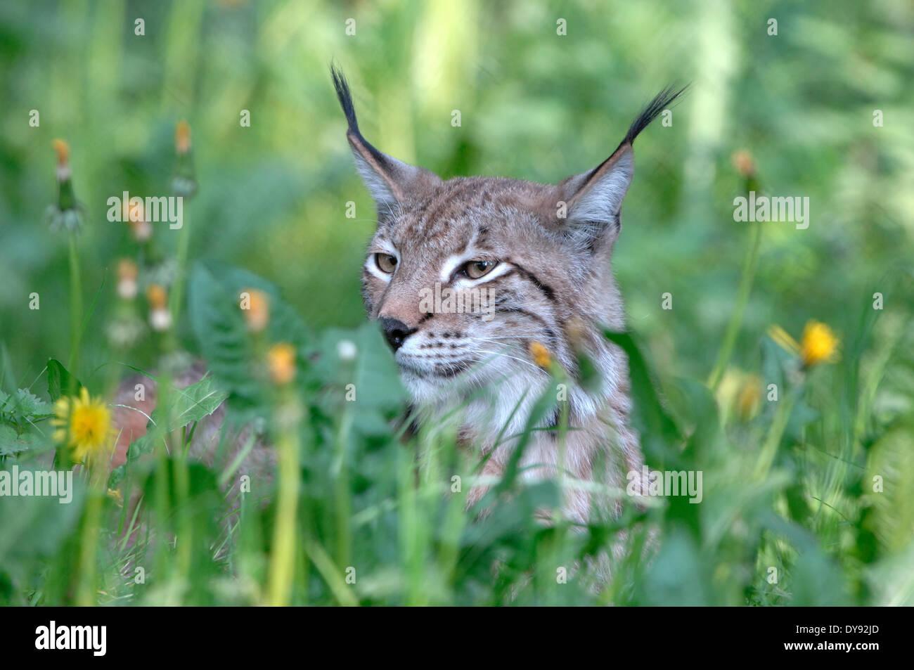 El lince, el gato, el gran gato, depredador, gatos, gato salvaje, lince, grandes felinos, animales de peletería, ambusher, pasto, animales, animales, Alemania, Europa, Imagen De Stock