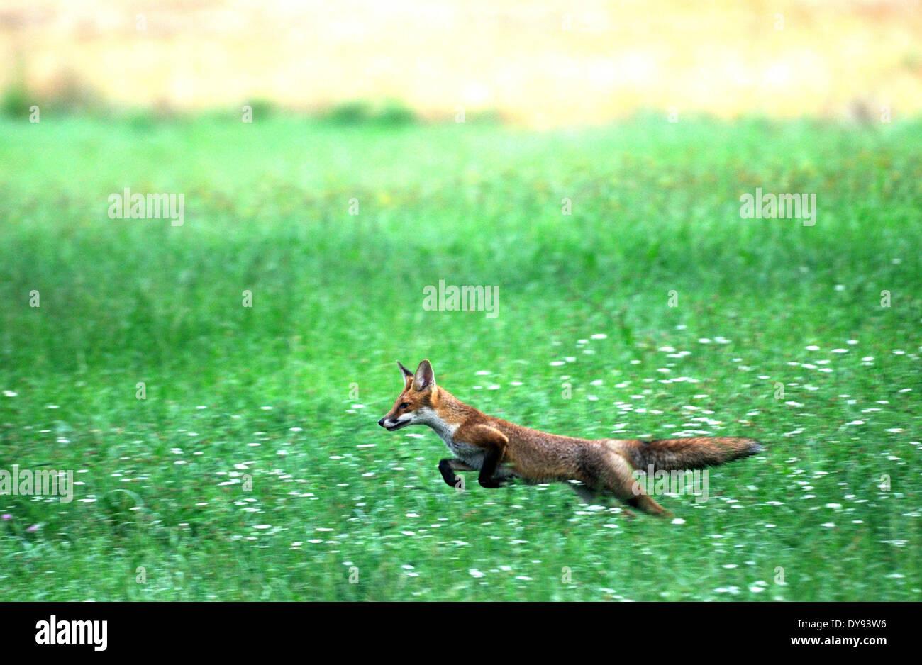 Red Fox fox depredador cánidos crafty Unión zorro Vulpes vulpes zorros joven campo de grano maizal saltando animal animales Germà Imagen De Stock