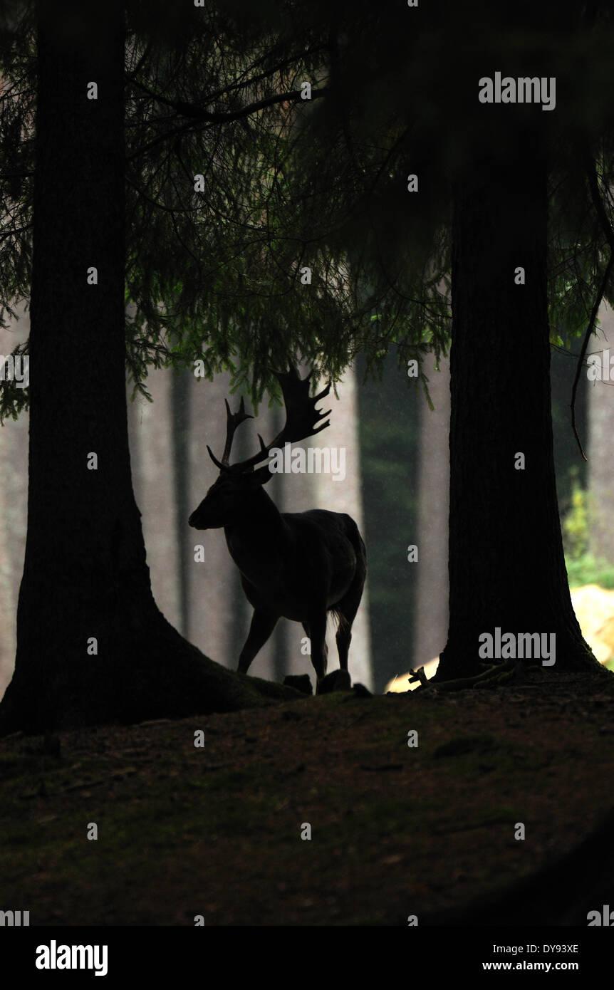 Gamo deer stags stag cloven-animal de pezuña cornamenta de cérvidos Dama dama bosques otoñales animal animales Alemania Foto de stock