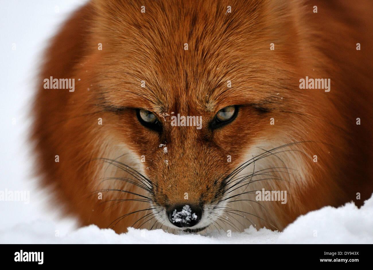 Red Fox fox depredador cánidos crafty Unión zorro Vulpes vulpes zorro Zorro Rojo abrigo de piel de invierno la nieve del invierno anima animal Imagen De Stock