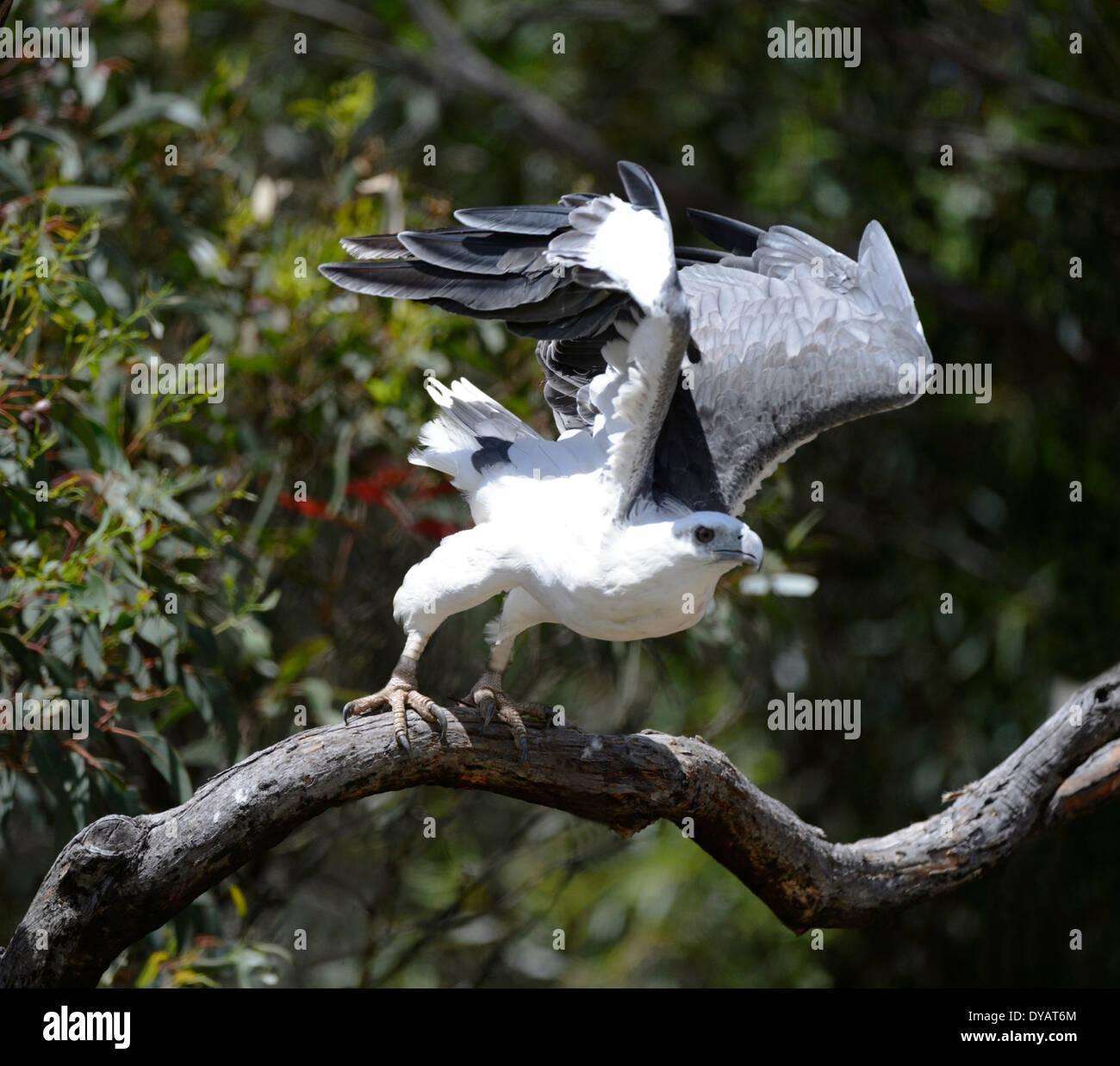 El pigargo de vientre blanco (Haliaeetus leucogaster) Foto de stock