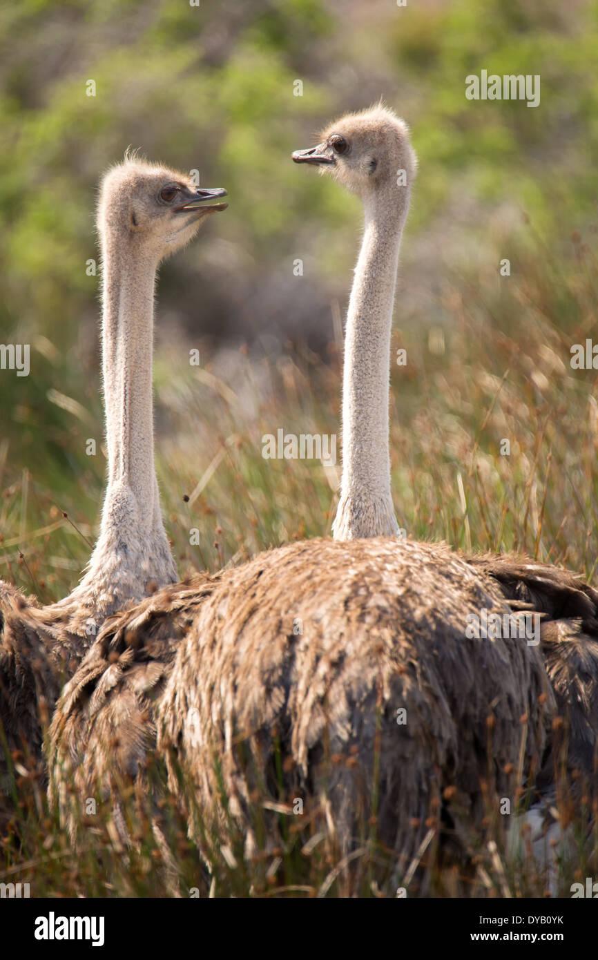 Dos avestruces posar para su retrato en la reserva de naturaleza Cape Point Nature Reserve con un telón de fondo de vegetación autóctona Imagen De Stock