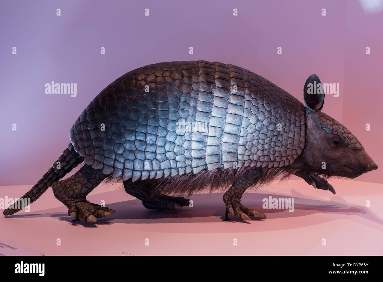 Modelo de un extinto armadillo gigante (Holmesina) en exhibición en un museo. Foto de stock