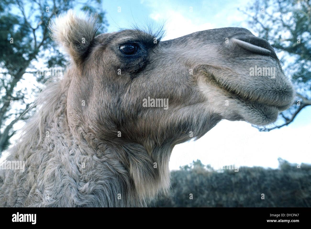 Los camellos como ésta-jorobas dromedario en Australia tienen largas pestañas para mantener soplando arenas del Foto de stock