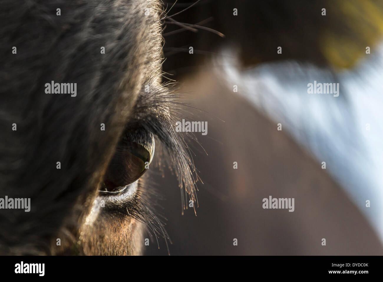 Cerca de los ojos de un ternero. Foto de stock