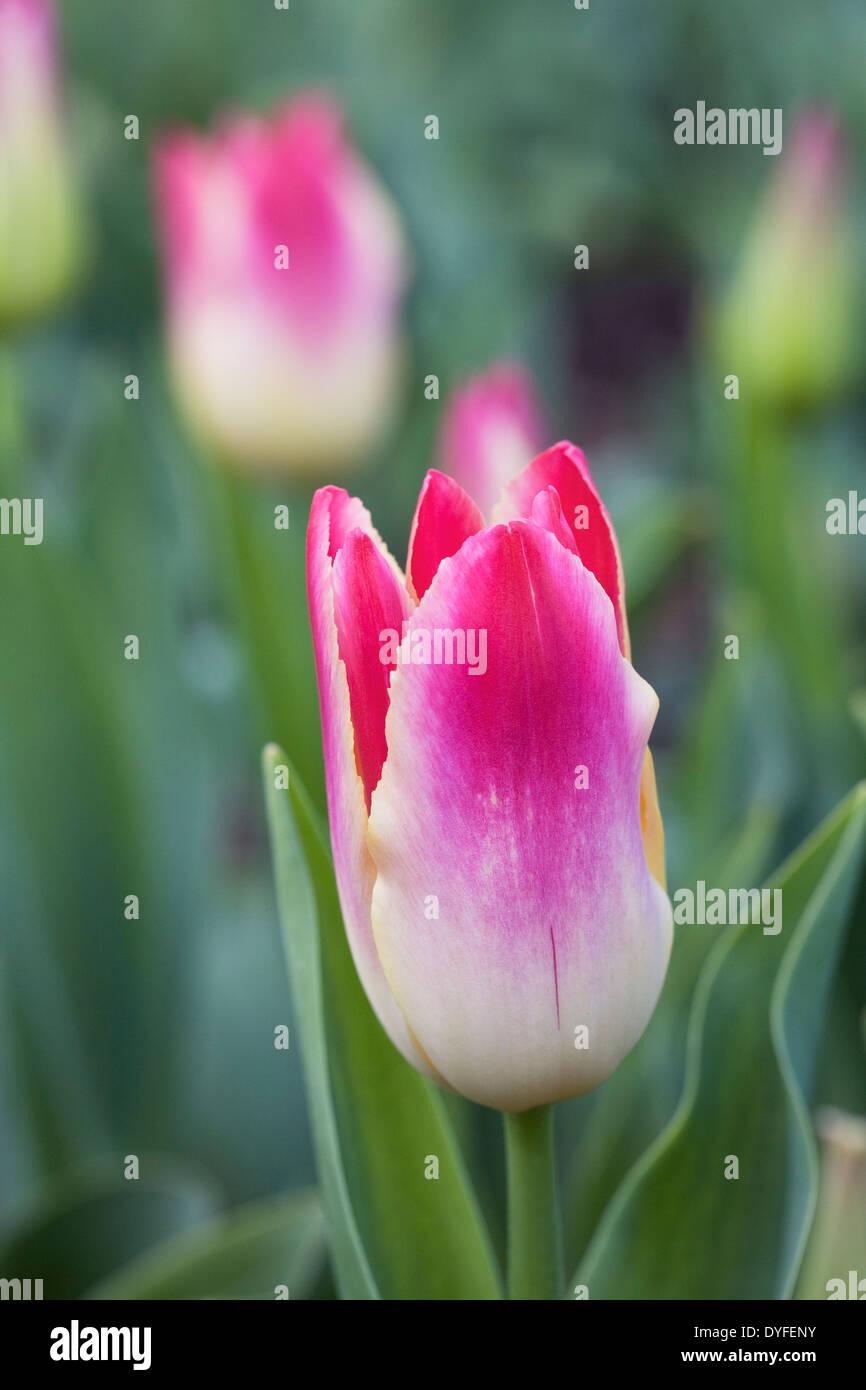 """Tulipa """"licitación"""" susurro en el jardín. Imagen De Stock"""