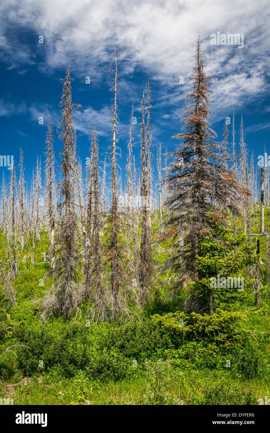 Árboles de Ghost, el pasado de los incendios forestales en las colinas al este del Parque Nacional Glacier, Montana, EE.UU. Imagen De Stock