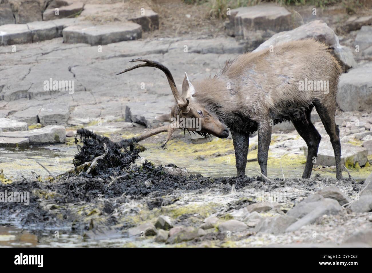 Ciervos Sambar (Rusa unicolor) rudding en barro durante la rutina. Foto de stock