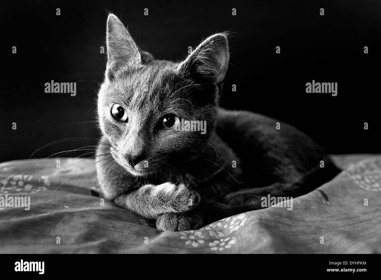 Un gato gris mintió sobre una cama Foto de stock