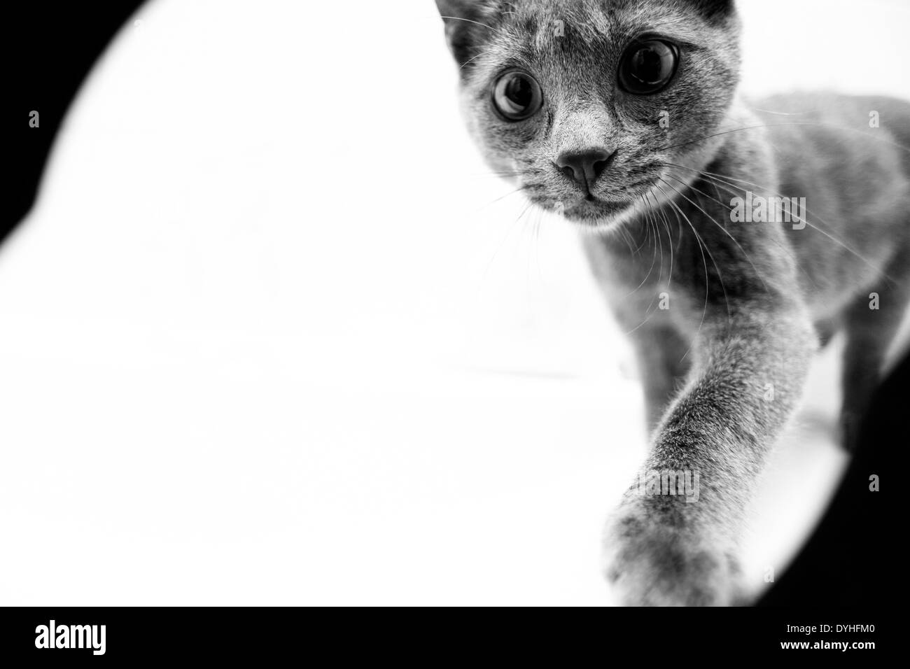 Un gato gris en fondo blanco. Foto de stock