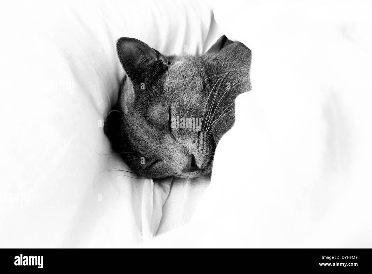 Un gato gris durmiendo en una cama bajo las hojas Imagen De Stock