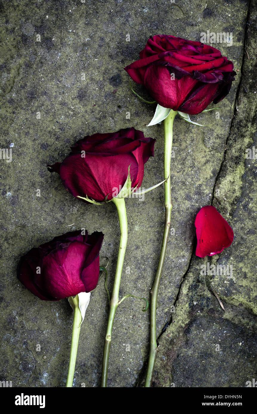 Morir Rosas cayó en el piso. Imagen De Stock