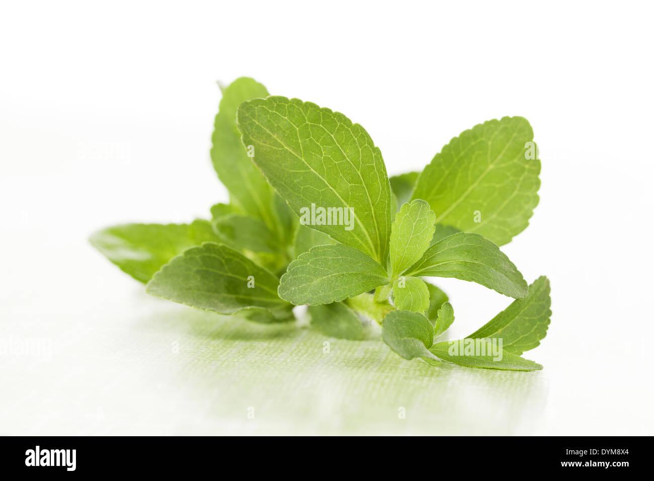Stevia frescas hojas de azúcar sobre fondo verde  El verde