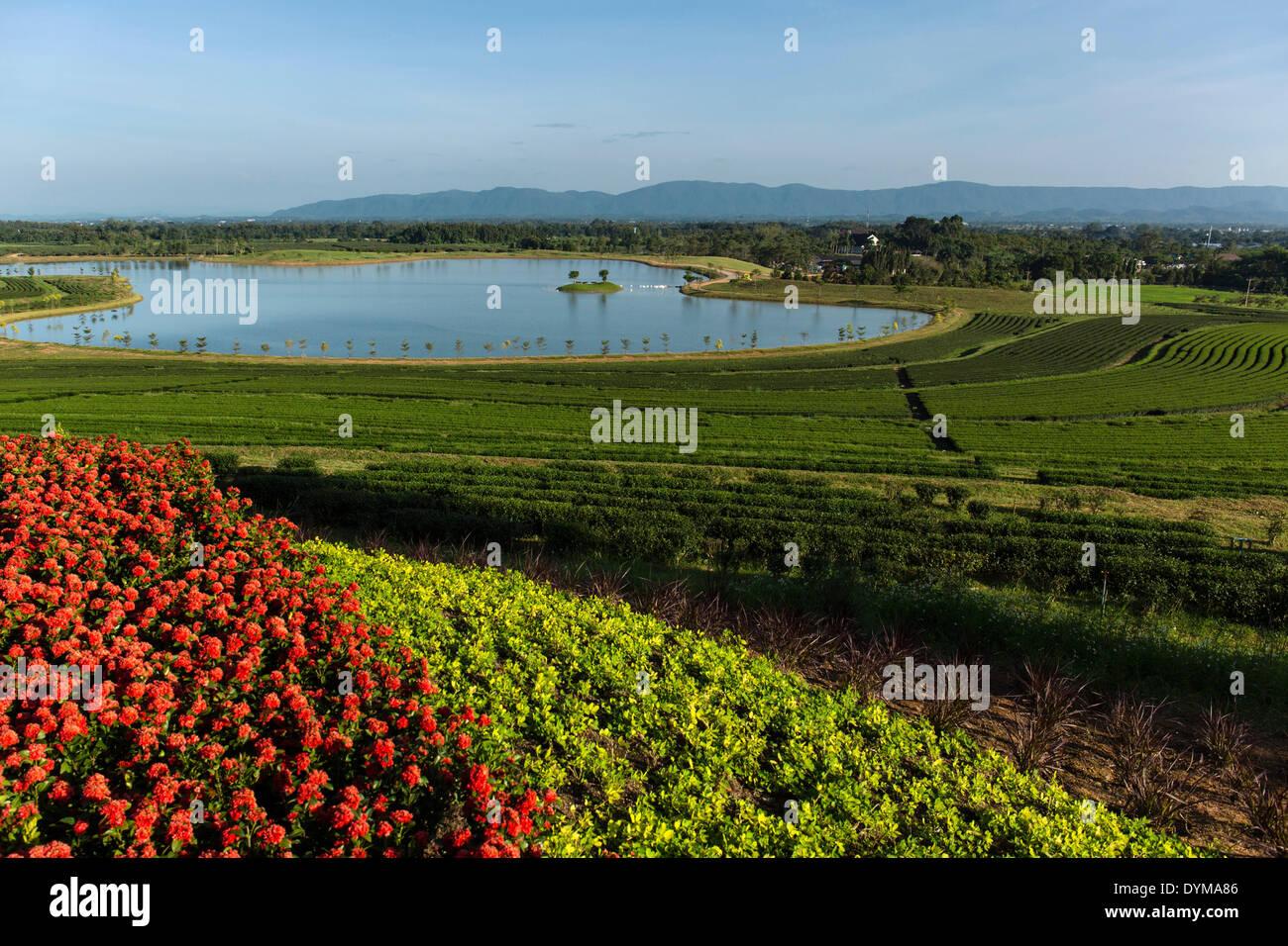 Boon Rawd granja, Singha Park, plantaciones de té con un lago, jardines de té, Chiang Rai, provincia de Chiang Rai, Tailandia del Norte Imagen De Stock