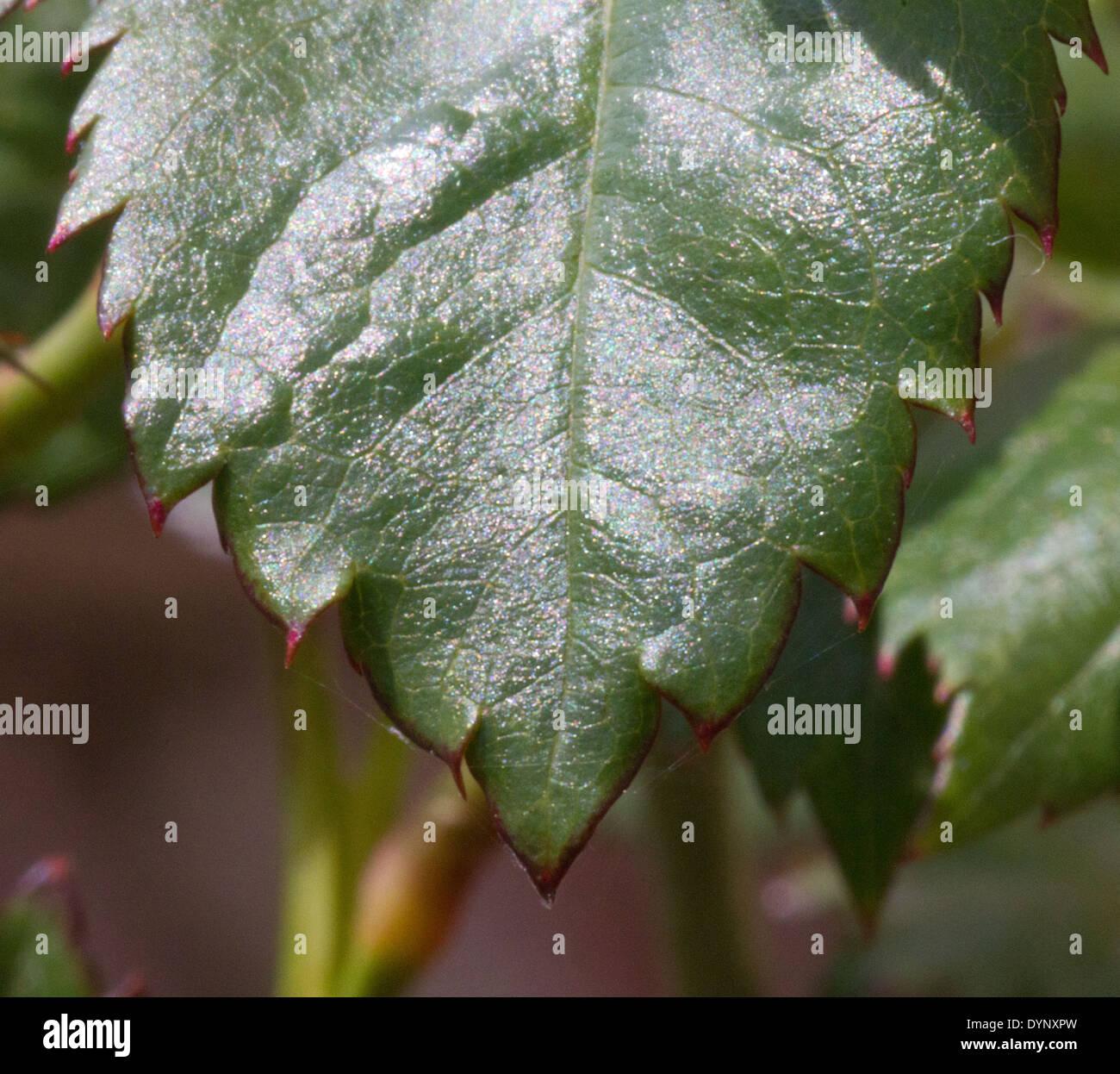 Jagged Edge rosal leaf Imagen De Stock