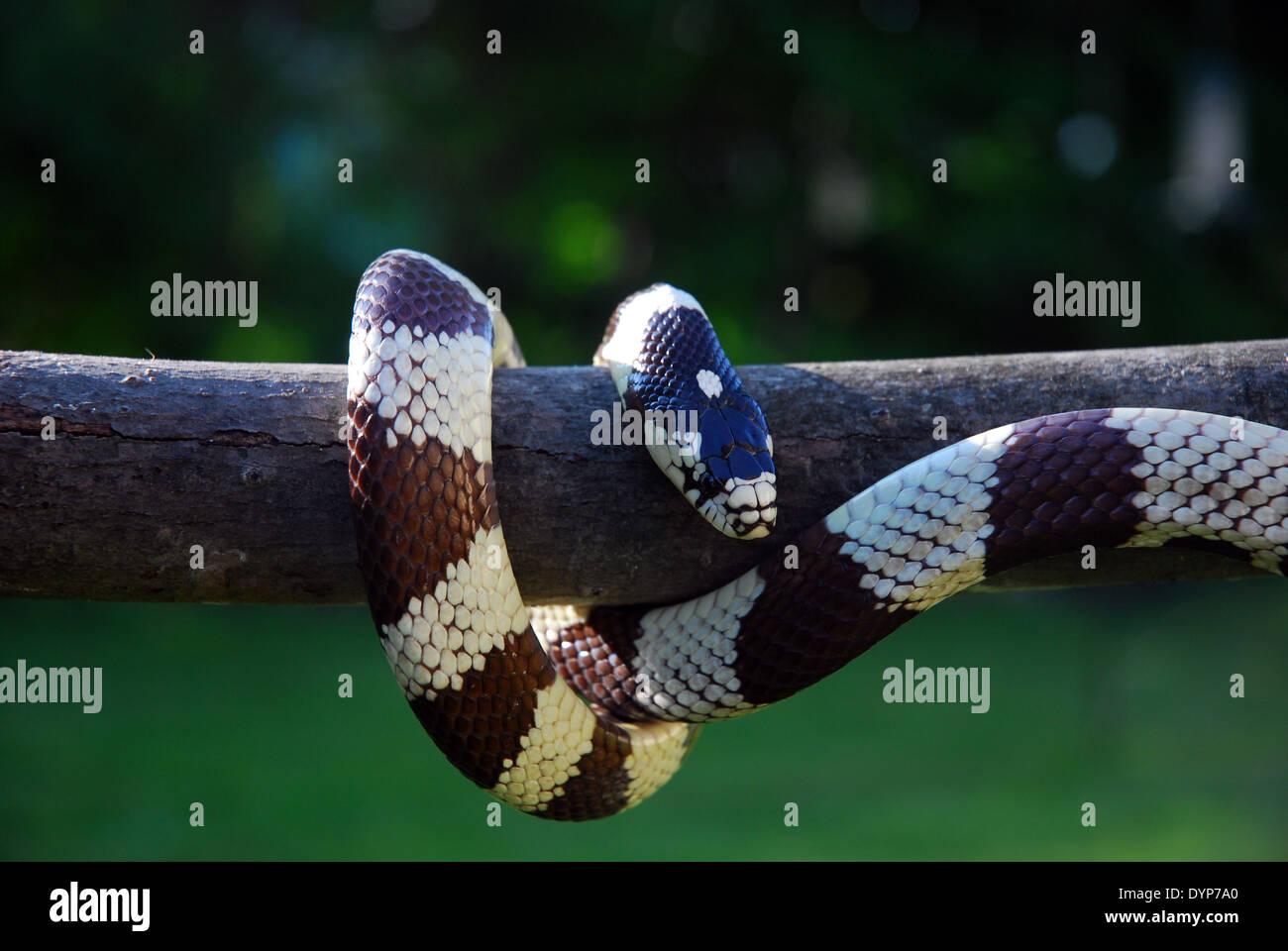 Blanco y negro serpiente rey de California colgado verticalmente en palo al aire libre con fondo verde. Imagen De Stock