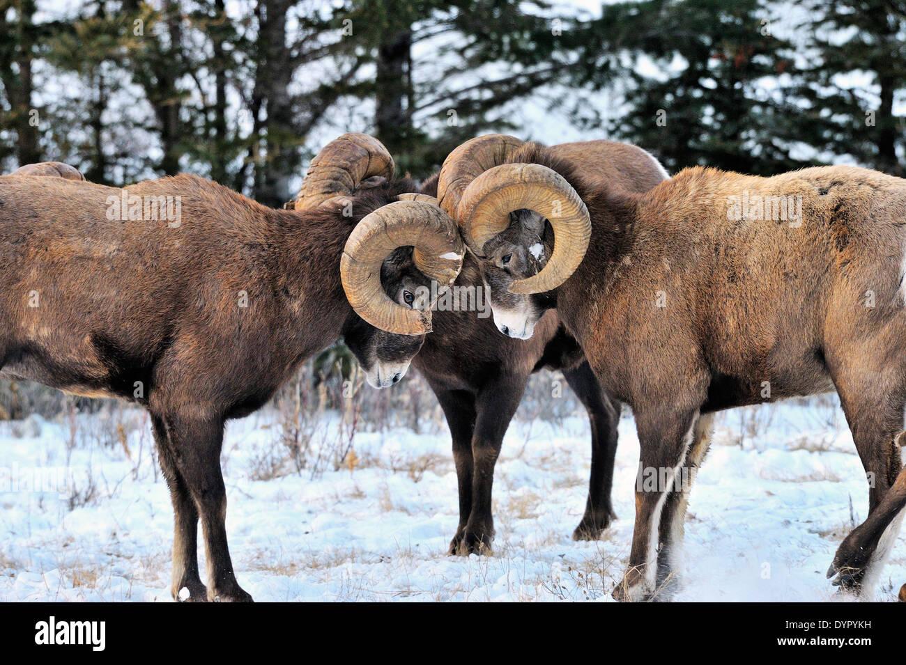 Un grupo de borregos cimarrones desafiador en una cabeza topando contest Foto de stock