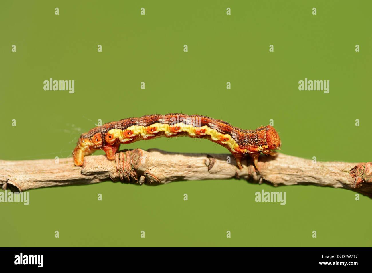 Umber (Erannis defoliaria moteado), Caterpillar, Renania del Norte-Westfalia, Alemania Imagen De Stock