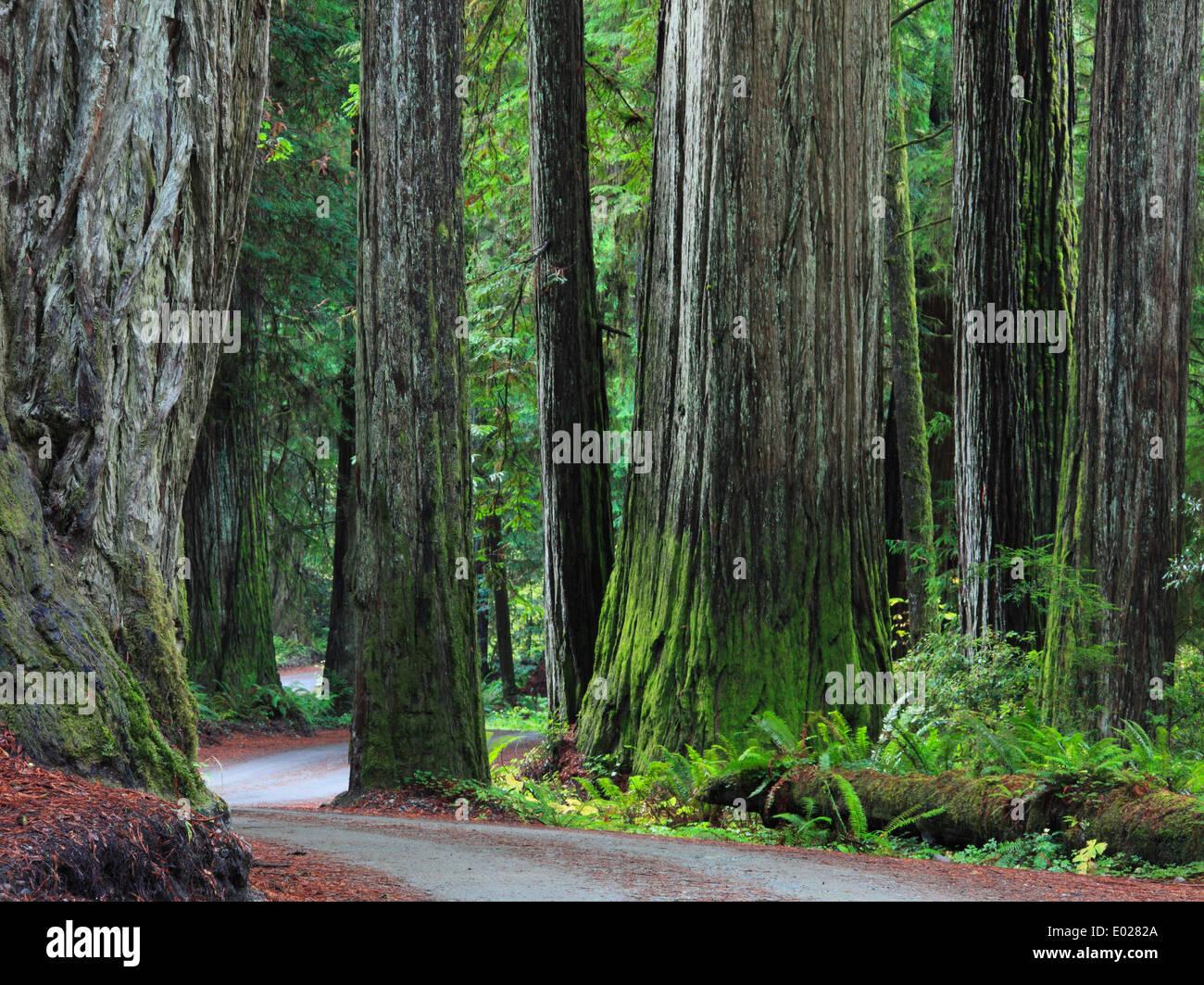 Foto de jedediah smith Redwoods State Park, California Foto de stock