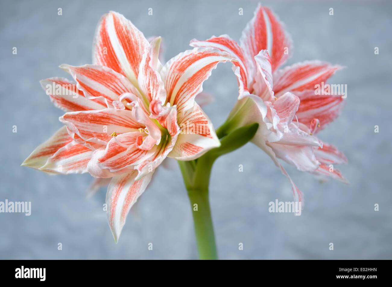 Amaryllis, Dancing Queen, doble floración Imagen De Stock