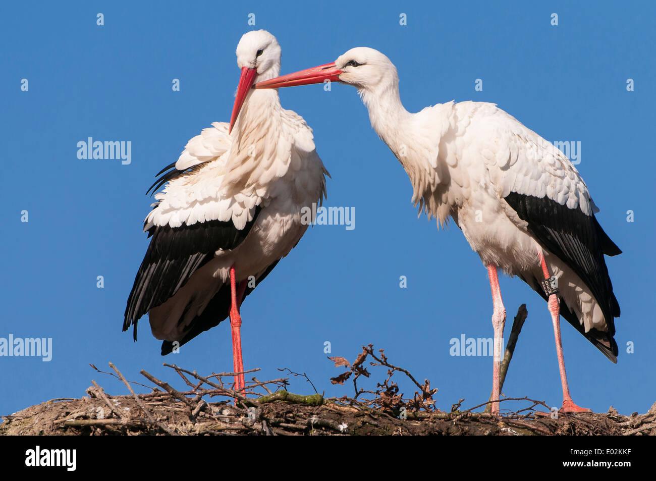 Cigüeñas blancas, Ciconia ciconia Foto de stock