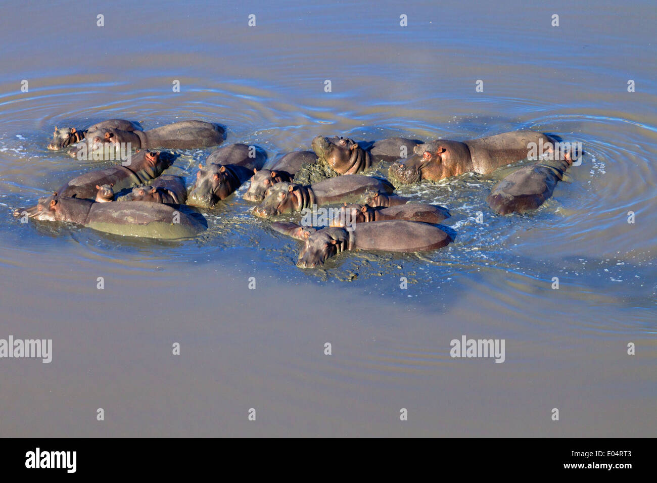 Vista aérea de Hipona en agua.de hipopótamo. (Hippopotamus amphibius) Sudáfrica Imagen De Stock