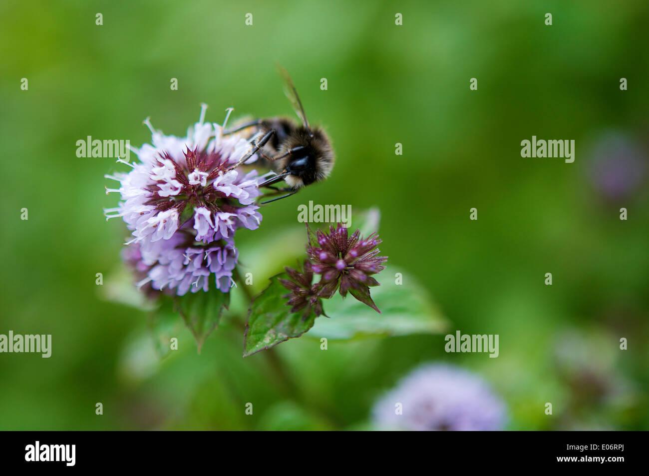 Humilde abeja sobre la flor de una planta Mentha citrata en un jardín en Francia. Imagen De Stock