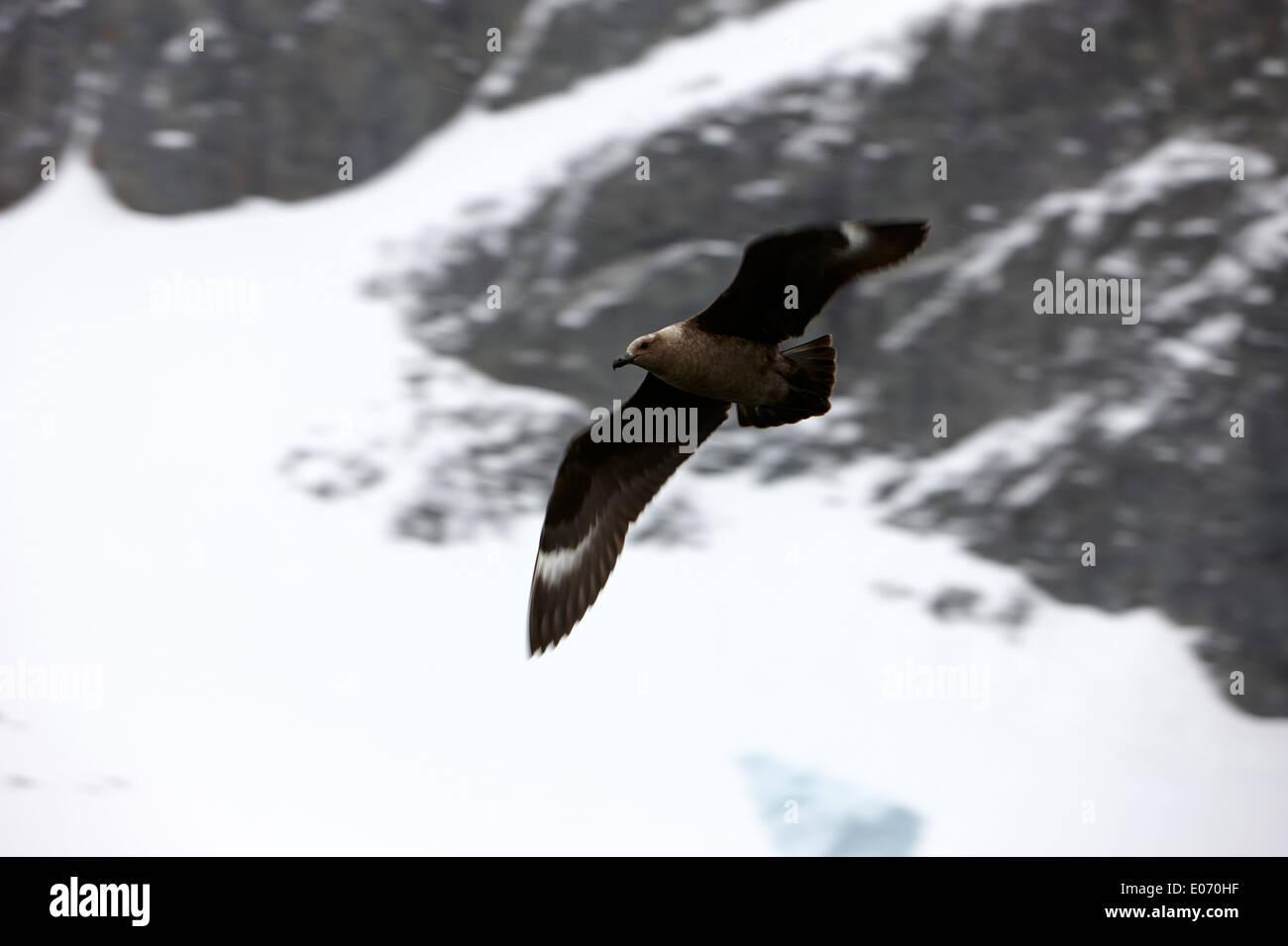 Brown skúas antárticas volando en el Canal de Errera la Antártida Imagen De Stock