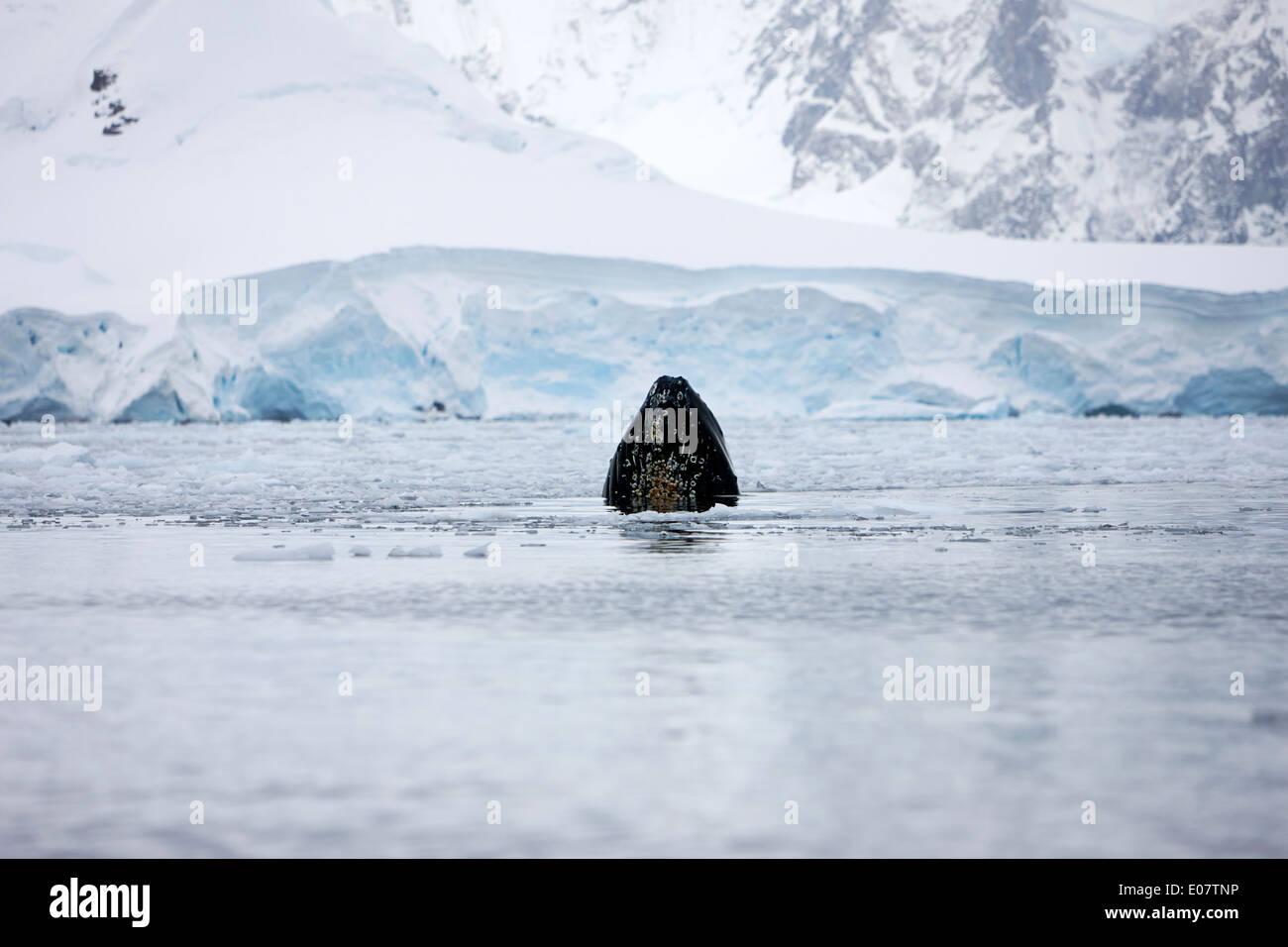 Boca de ballena jorobada rompiendo la superficie mientras se alimentan en wilhelmina bay la Antártida Imagen De Stock