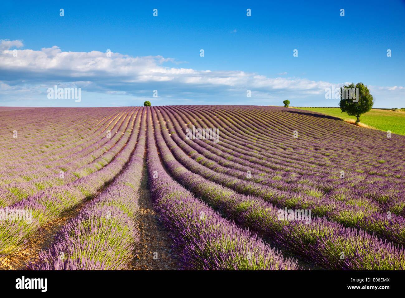 Campos de lavanda en Francia, Provenza Imagen De Stock
