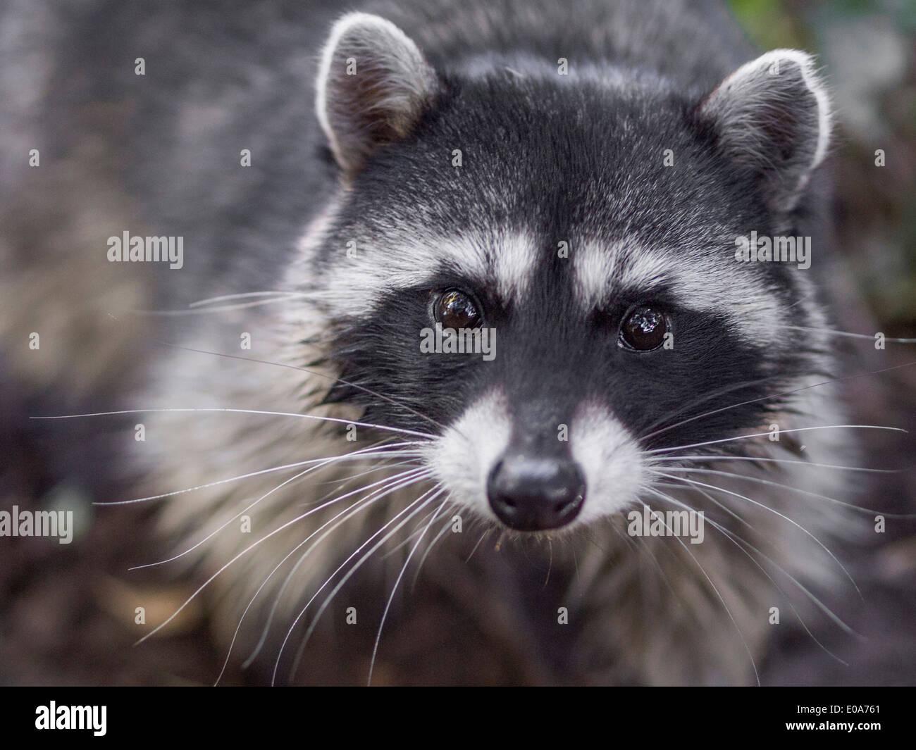 Retrato de mapache, Procyon lotor, San Francisco, California, EE.UU. Imagen De Stock