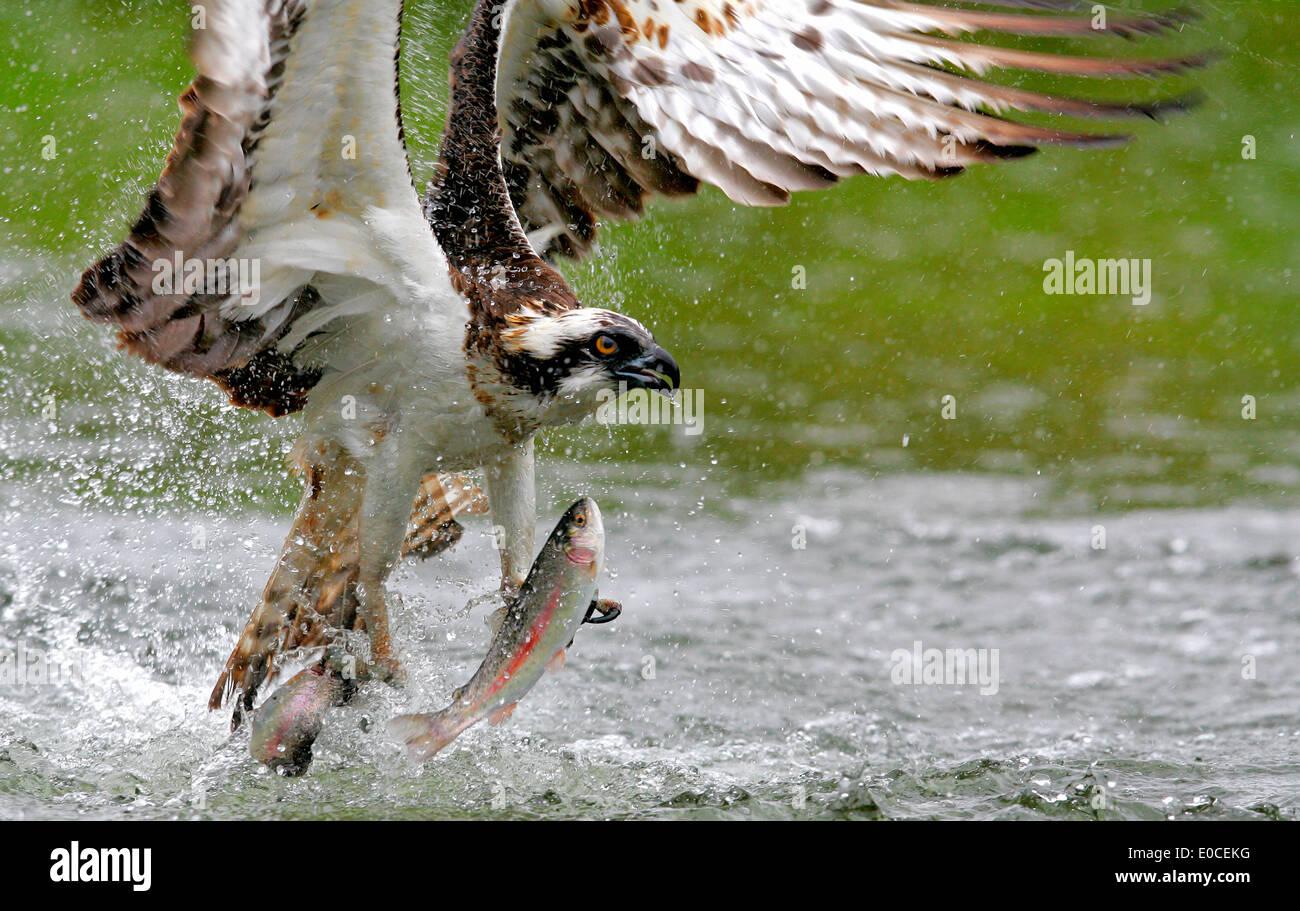 Osprey pesca del salmón, truchas, Finlandia (Pandion haliaetus) Foto de stock