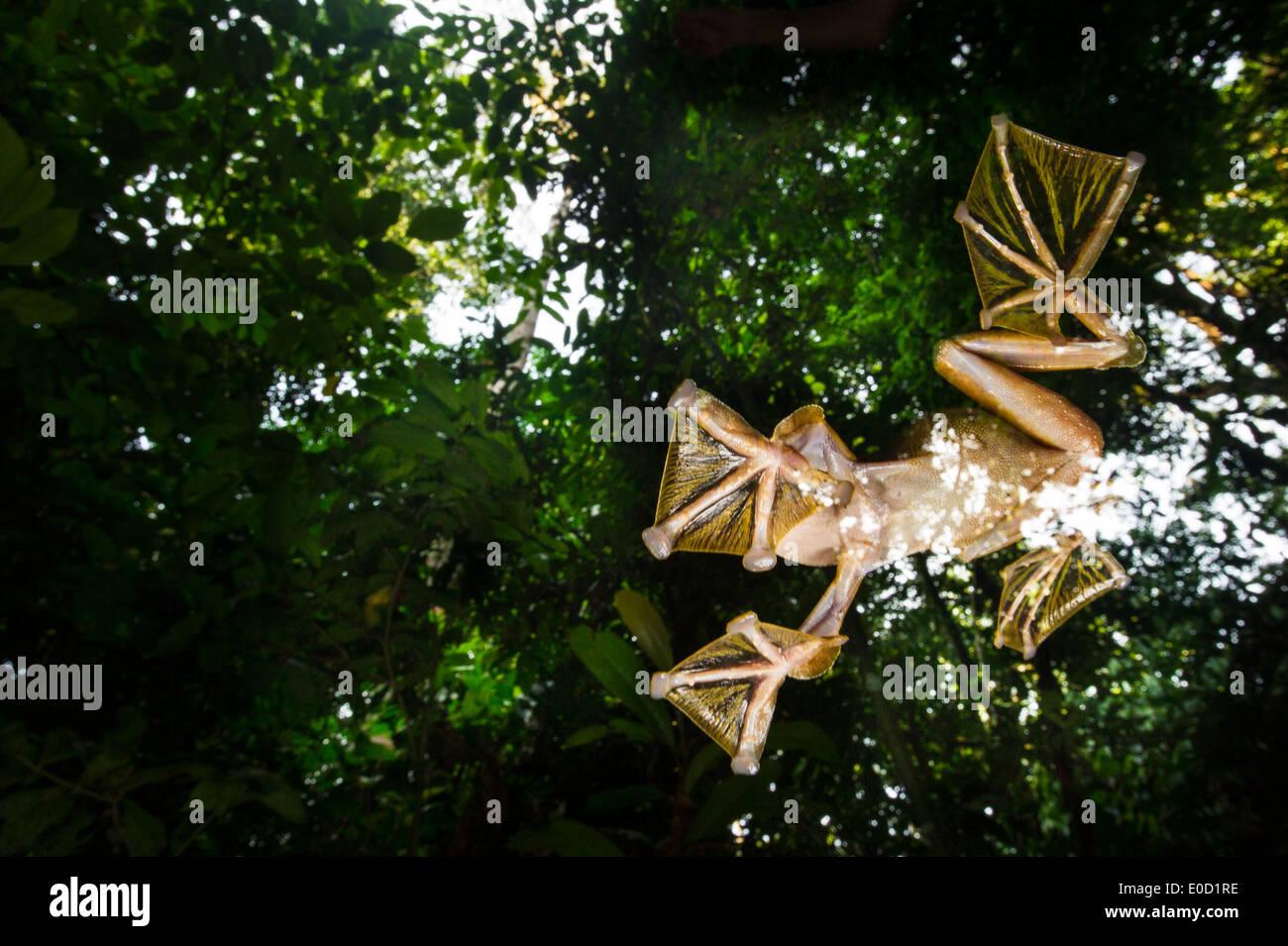 Macho Wallace's Flying Frog volando/deslizándose hacia abajo para agrupaciones temporales en el suelo del bosque, Sabah, Borneo (Rhacophorus nigropalmatus) Foto de stock