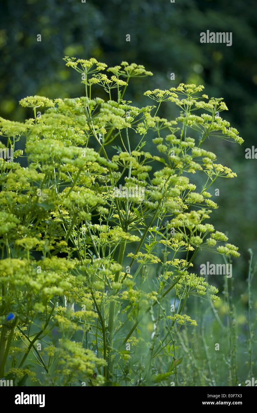 La alcachofa, Pastinaca sativa Imagen De Stock