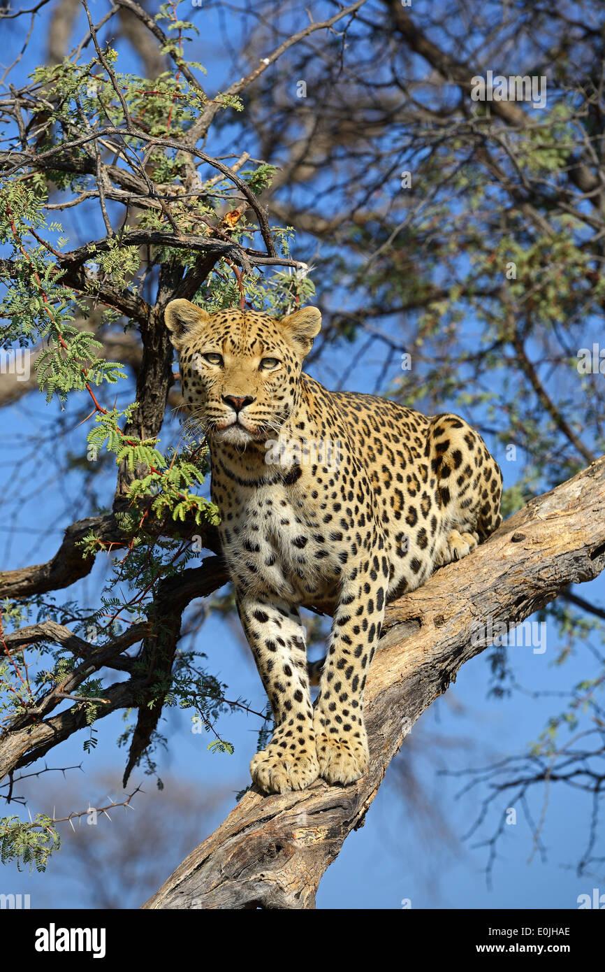 El leopardo (Panthera pardus) haelt Ausschau auf einem Baum am Abend , región de Khomas, Namibia, Afrika Foto de stock